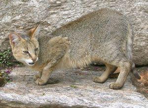 Natura unei pisici de trestie arată, de asemenea, o gravitate
