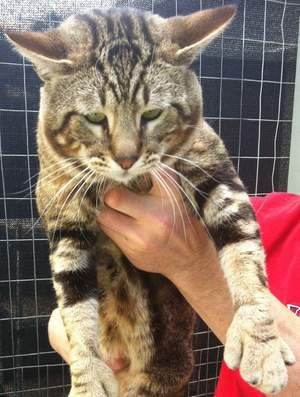 CATTLE CAT sau WET RICE
