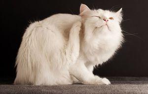 Picaturi pentru pisici de la paraziti externi