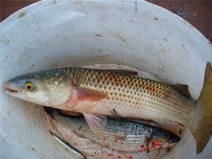 Cum să gătești pește de mullet.