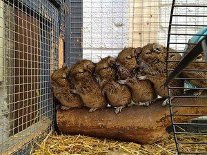 Cage pentru chinchilla: dimensiunea optimă, cum se face