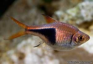 Blotnotnistaya sortare - pește de acvariu