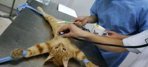 Când să sterilizeze o pisică mai bine