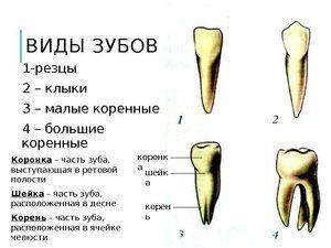 Tipuri de dinți la un copil