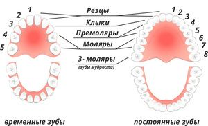Teeth Premolary