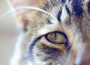 Conjunctivită la pisici și pisici: cauze, modalități de tratare