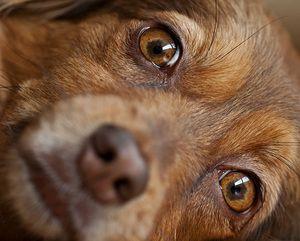 Conjunctivită catarală la câini