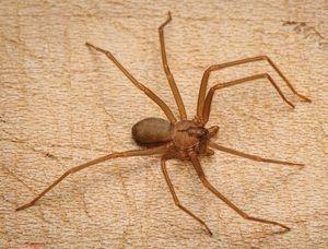 Brown păianjen pustnic