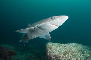 Hrănirea rechinilor cu coaseri scurte