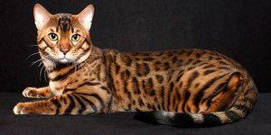 Bengal rasa de pisici
