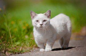 Rasa munchkin cat