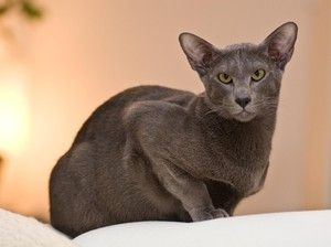 Rasă pisică orientală