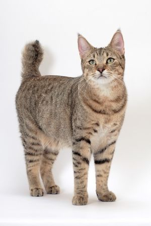 Descrierea rasei de pisici pixiobob