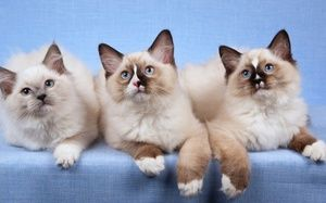 Ragdoll pisici rasa