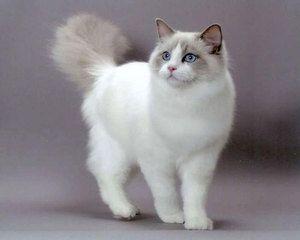 Caracteristicile naturii pisicilor Ragdoll