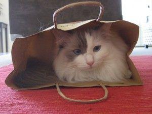 Îngrijirea unei pisici Ragdoll