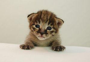 Pisici de reproducere din rasa savană