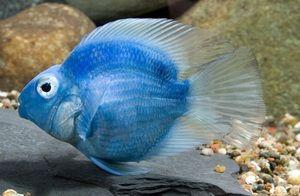 pește papagal