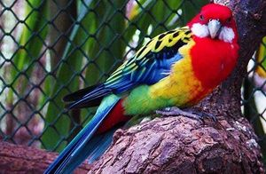 Care sunt tipurile de papagali rosella