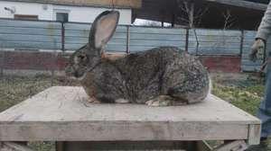 Iepure de iepure Rabbit