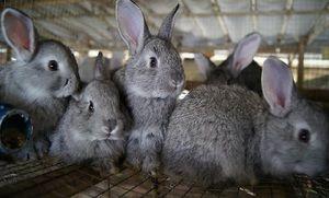 Condiții pentru păstrarea iepurilor
