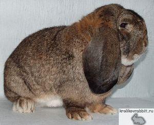Adult rasă de iepure germană de oaie fotografie