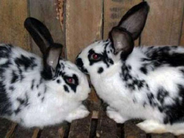 Pereche de iepuri de rasa fluture Foto