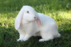 Oul german de iepure într-o fotografie de pajiște