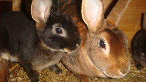 Rabbit Rex - îngrijire și caracteristici
