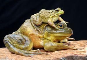 Frog taur-descriere