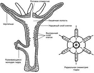 Polipul intestinal este un alt nume pentru hidra de apă dulce