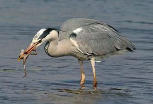 Egretul alimentar