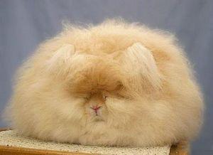 Angora Furry Rabbit