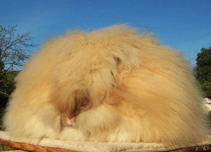 Cum să aveți grijă de un iepure pufos