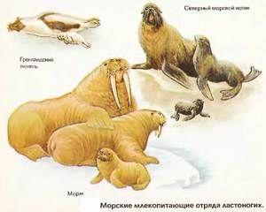 Pinnipede mamifere