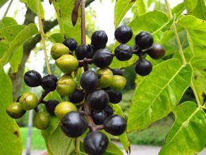 Fructe de catifea