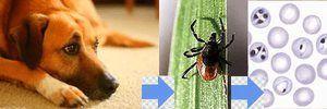 Tratamentul piroplasmozei la câini și simptomele bolii