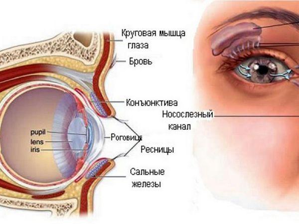 Glanda lacmică a ochiului - cum este aranjat