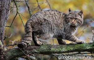 Pisica forestiera: modul de viata al pisicii salbatice europene