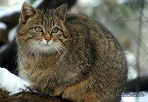 Stilul de viață al unei pisici sălbatice