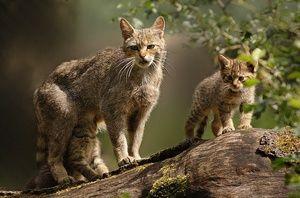 Stilul de viață al pisicii sălbatice europene