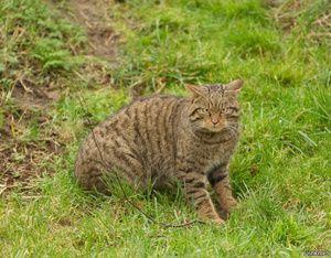 Habitat de pisică forestieră europeană sălbatică