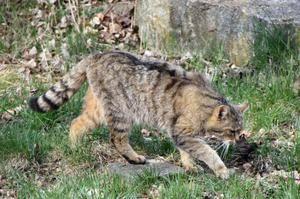 Vânătoarea unei pisici europene sălbatice