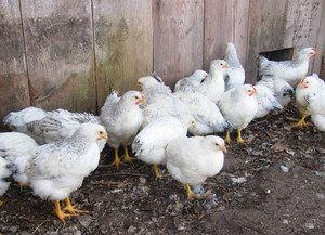 Selectarea găinilor ouătoare