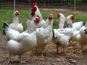 Găini de hrănire