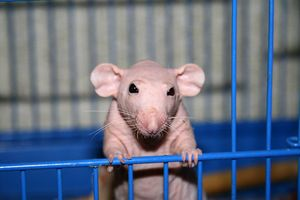 Bald rat Sfinx: secretele de a păstra un animal de companie