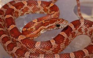 Descrierea șarpelui