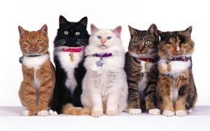 Preparate pentru pisici