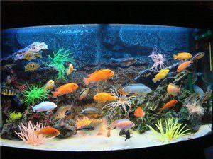 Cichlide de pește