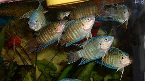 Macro pește